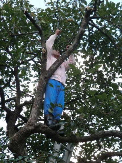 柿木に登っての枝落とし
